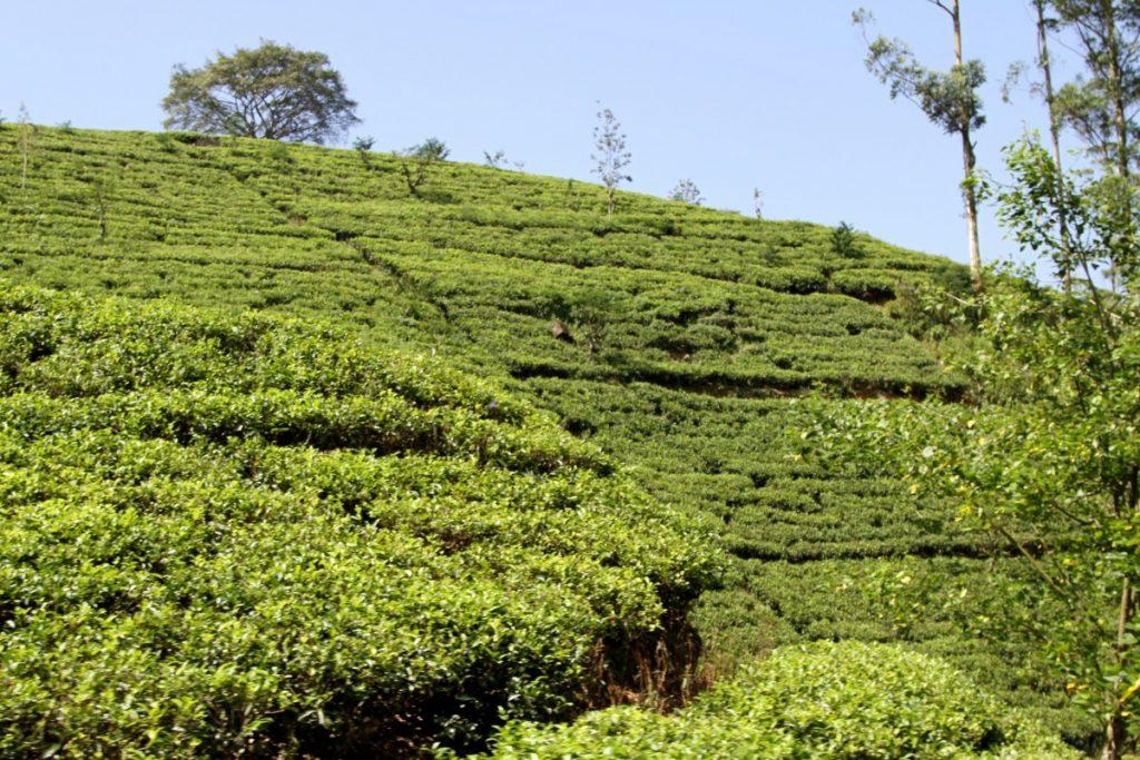 cosa-vedere-in-sri-lanka-itinerario-di-viaggio-piantagioni-tè-ella