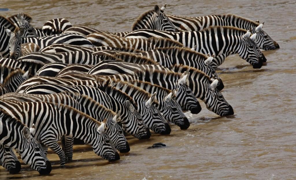 herd_of_burchells_zebra_drinking_mara_river_masai_mara_kenya-wallpaper-1920x1200