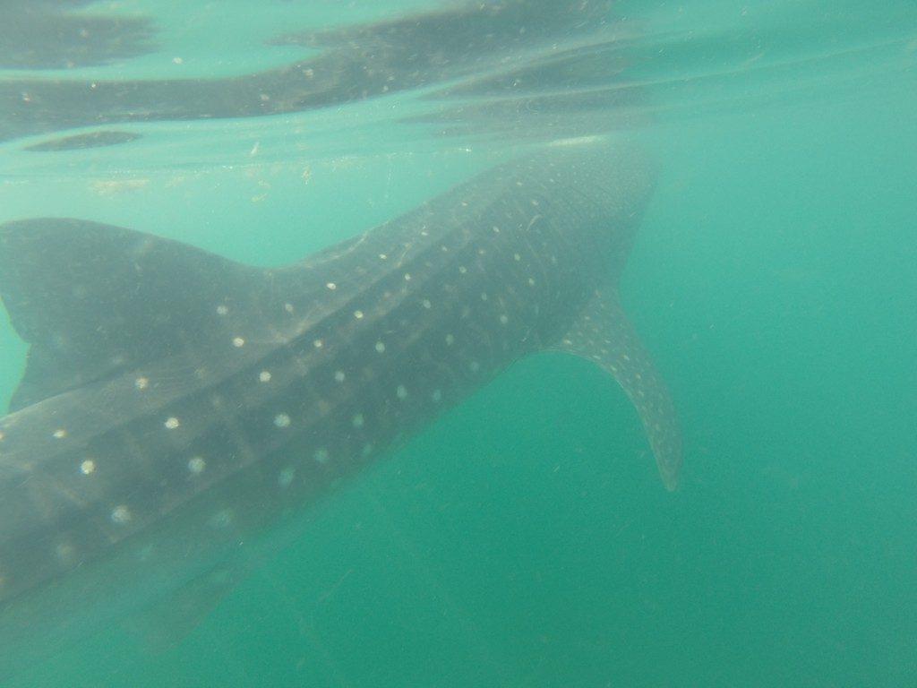 escursione-squalo-balena-holbox