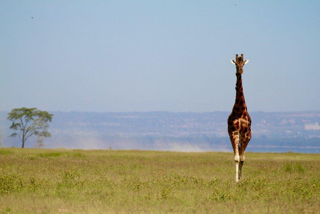 itinerario-safari-kenya-lago-nakuru-giraffa