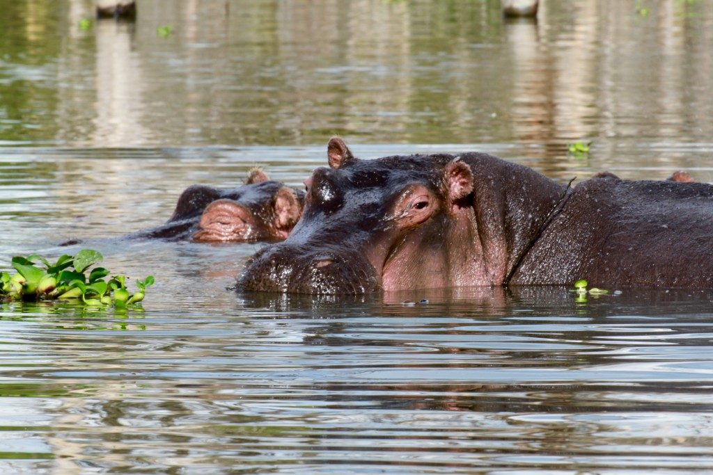 litinerario-safari-kenya-lago-naivasha-ippopotamo