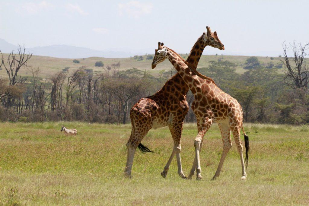 safari-kenya-come-organizzare-giraffe-lottano