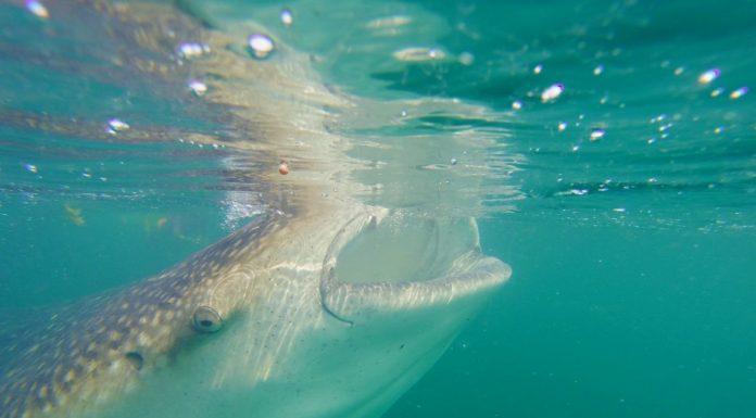 viaggio-messico-nuotare-squalo-balena