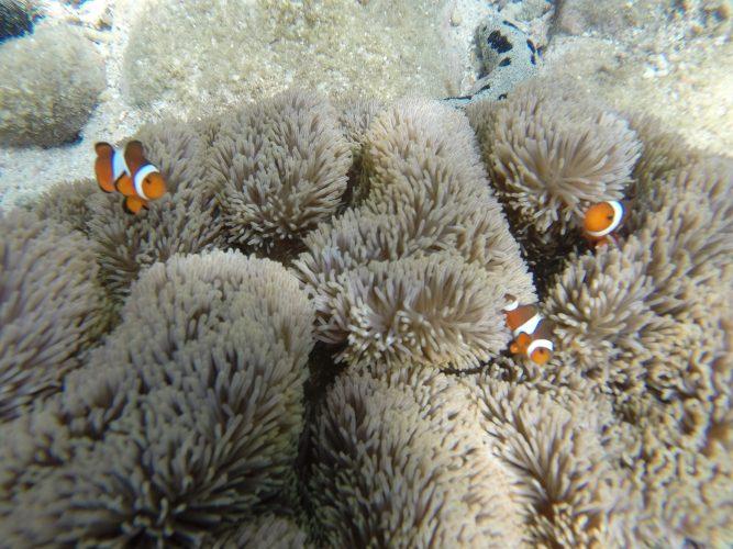 Isole Perenthian Nemo