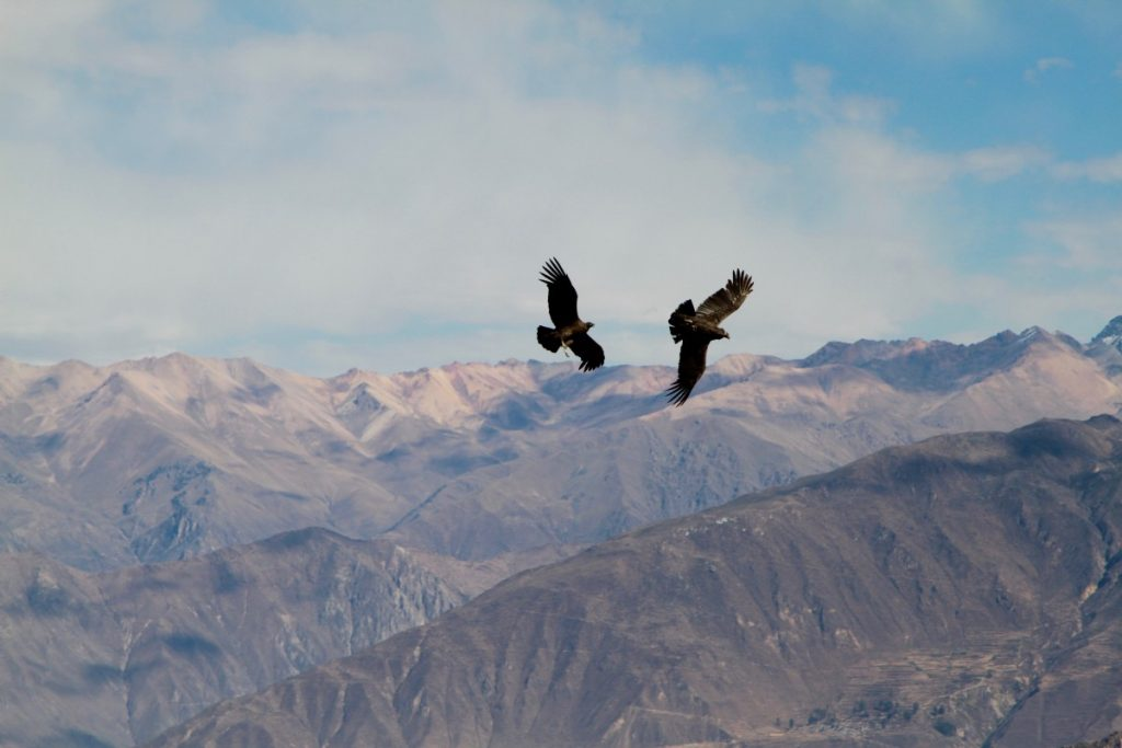 tour-canyon-colca-coppia-di-condor