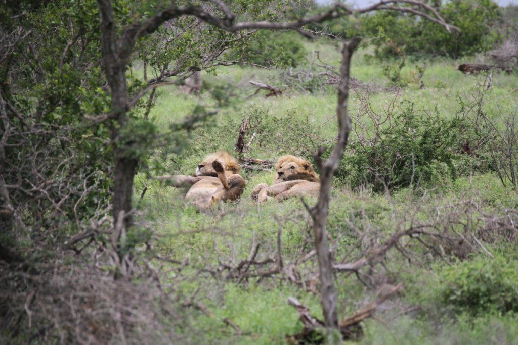 safari-al-parco-kruger-sudafrica-consigli-utili-leoni