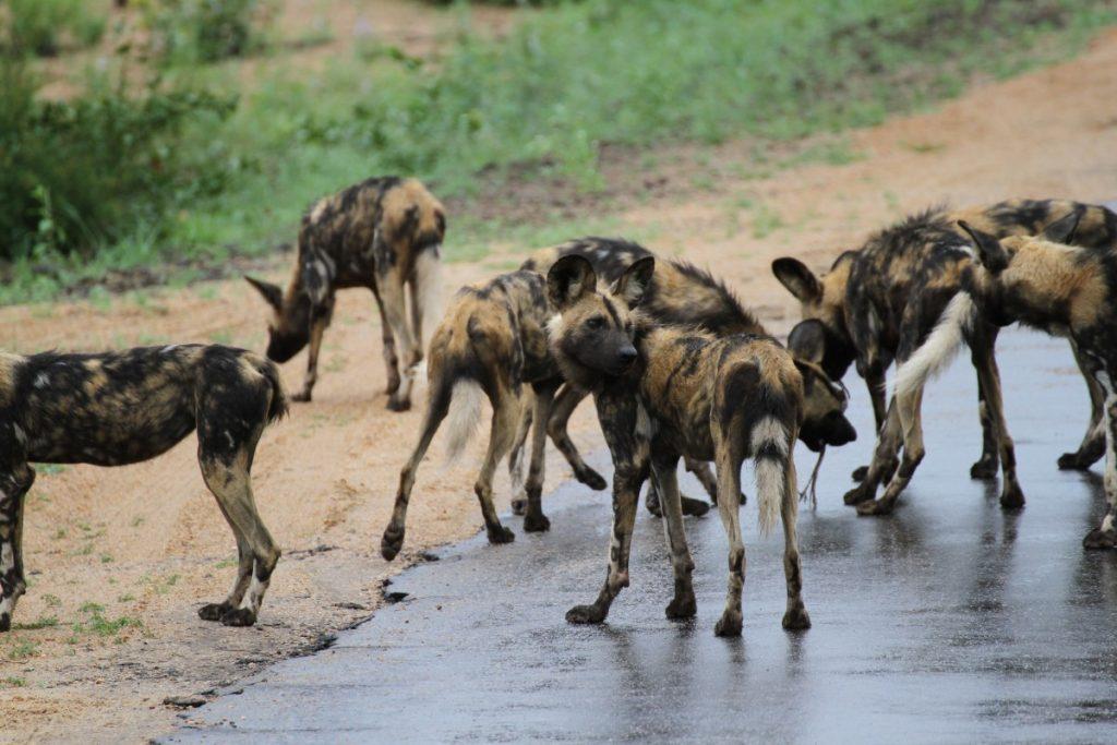safari-al-parco-kruger-sudafrica-consigli-utili-licaoni