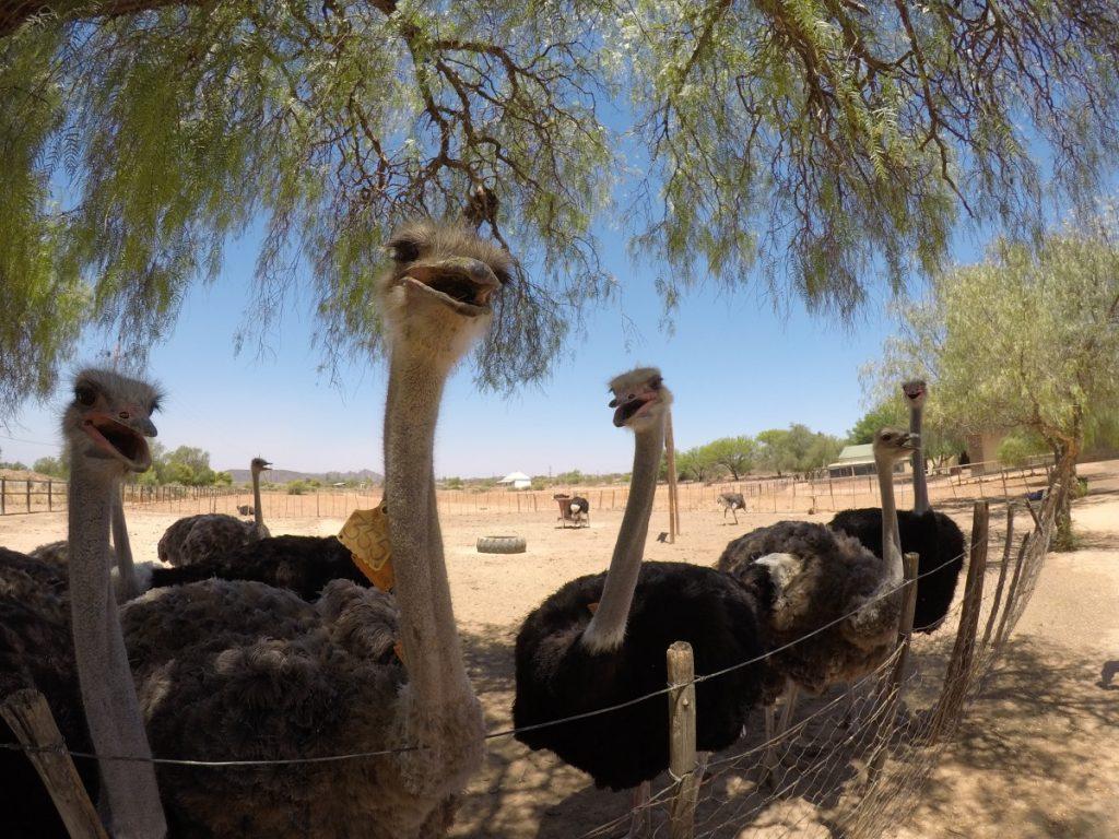sudafrica-itinerario-on-the-road-della-garden-route-in-5-giorni-fattorie-struzzi