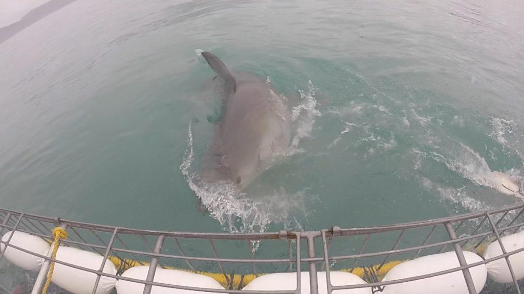 immersione-squalo-bianco-sudafrica-cosa-bisogna-sapere-squalo-attacco
