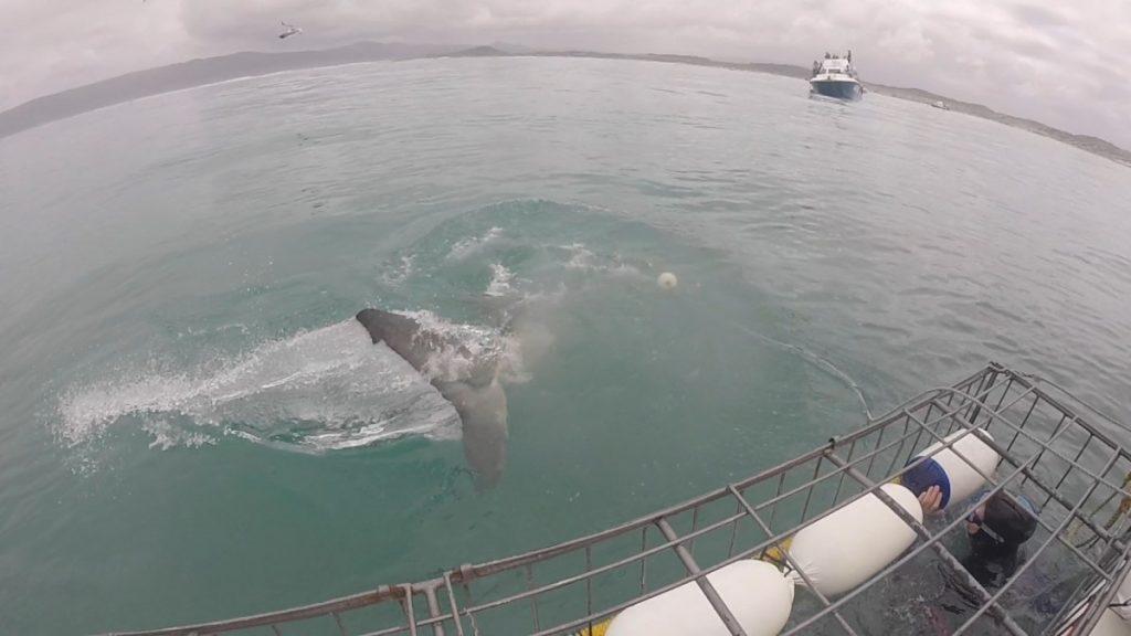 immersione-squalo-bianco-sudafrica-cosa-bisogna-sapere-squalo-coda