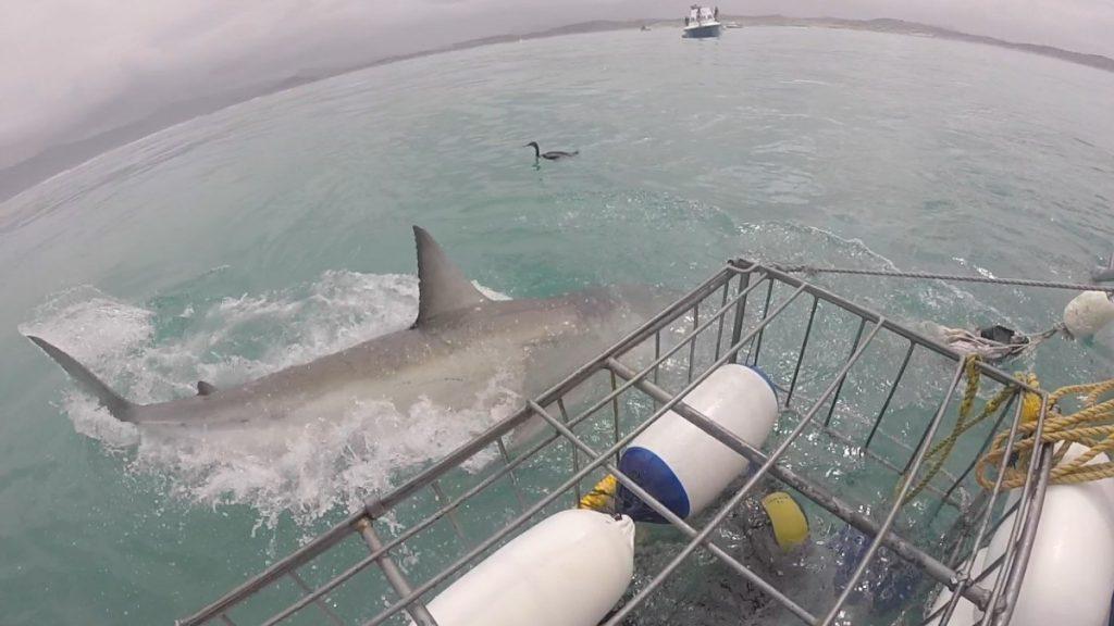 immersione-squalo-bianco-sudafrica-cosa-bisogna-sapere-squalo-corpo