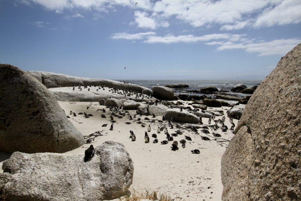 viaggio-in-sudafrica-cosa-vedere-a-citta-del-capo-boulders-beach-pinguini
