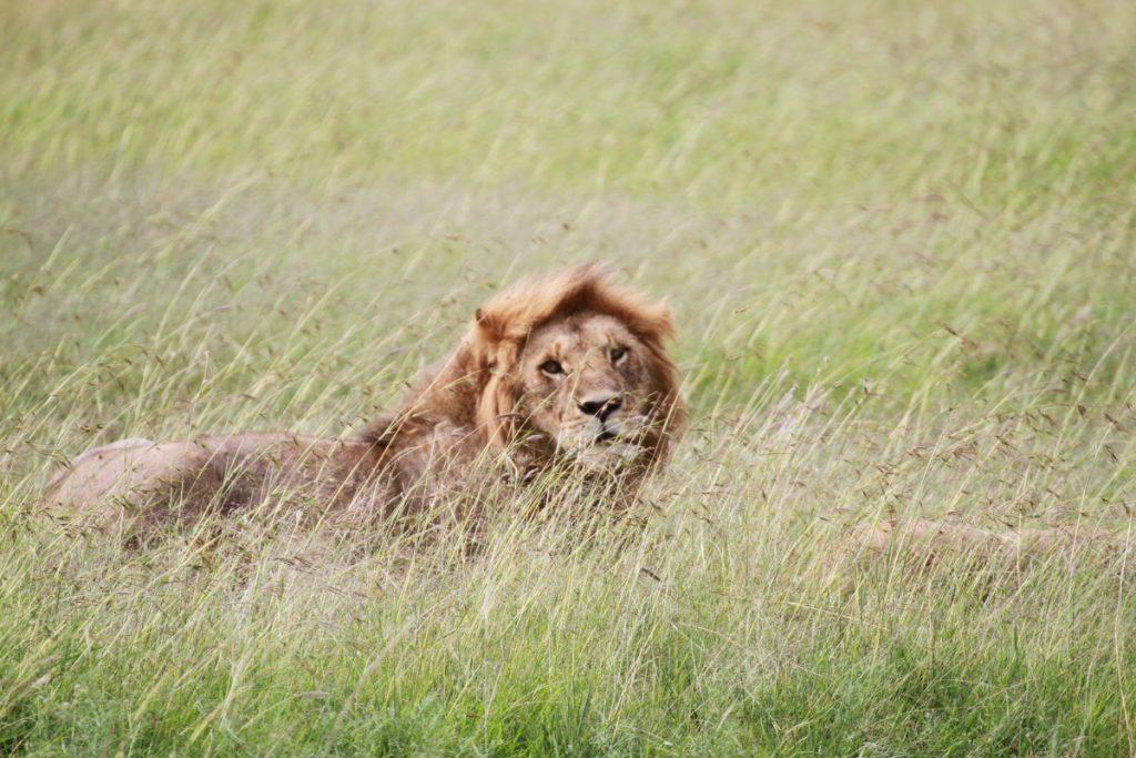 5-mete-per-un-capodanno-esotico-masai-mara-lion